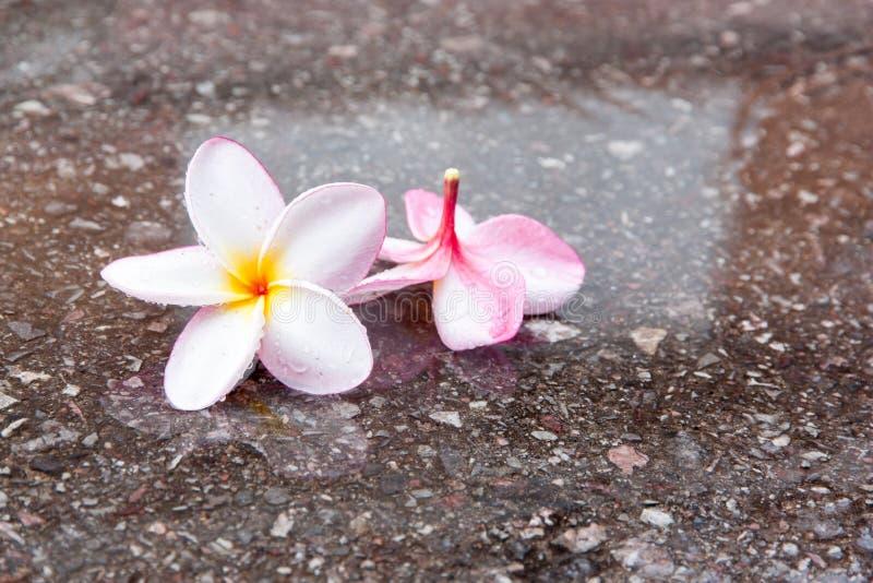 Plumeriabloem in regenachtig seizoen stock afbeelding