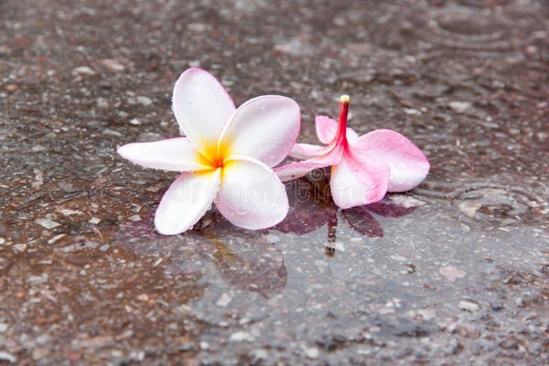 Plumeriabloem in regenachtig seizoen royalty-vrije stock afbeeldingen