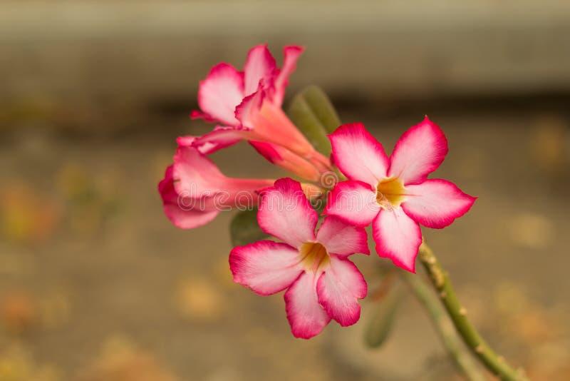 Plumeriabloemen, stock afbeelding