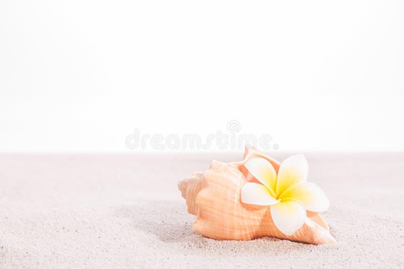 Plumeriablomma i ett trumpetsnäckaskal på sand fotografering för bildbyråer