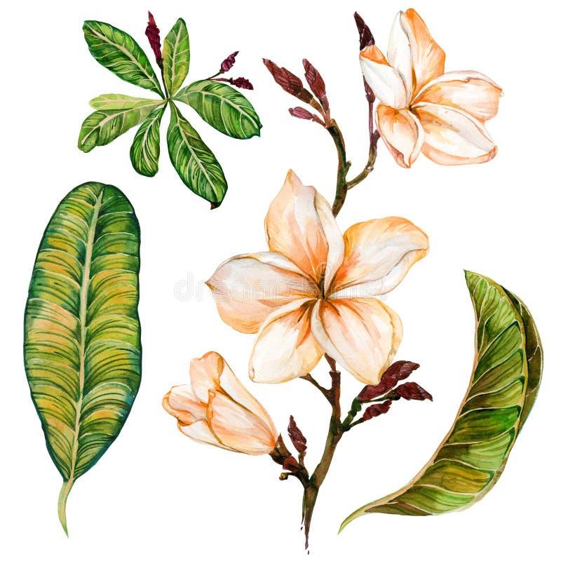 Plumeriablomma på en fatta Tropiska blom- uppsättningblommor och sidor bakgrund isolerad white för Adobekorrigeringar hög för mål royaltyfri illustrationer