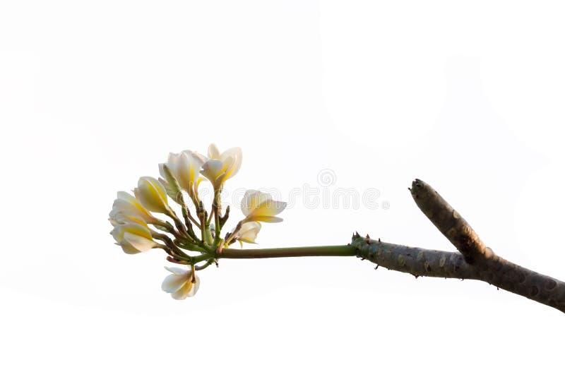PlumeriablommaFrangipani, tempelträd som isoleras på vit bakgrund fotografering för bildbyråer