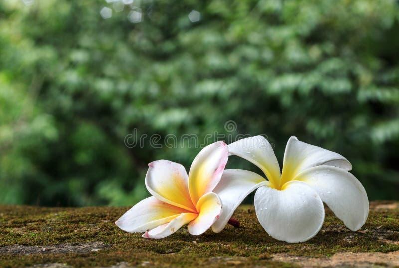 Plumeriablommor, härlig vit royaltyfria bilder