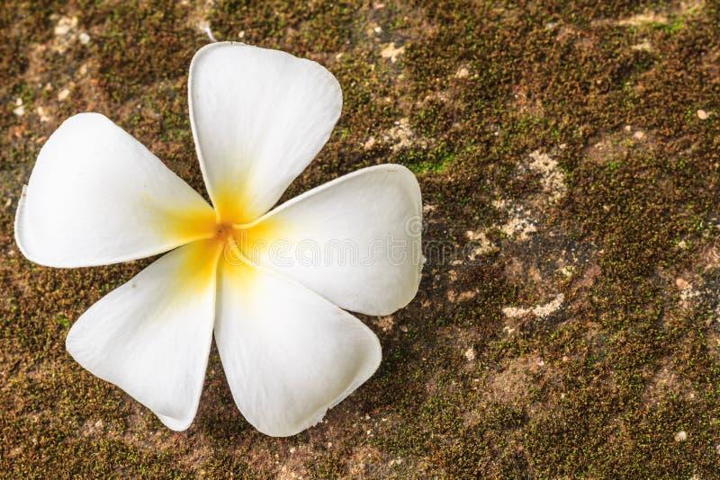 Plumeriablommor, härlig vit royaltyfri foto