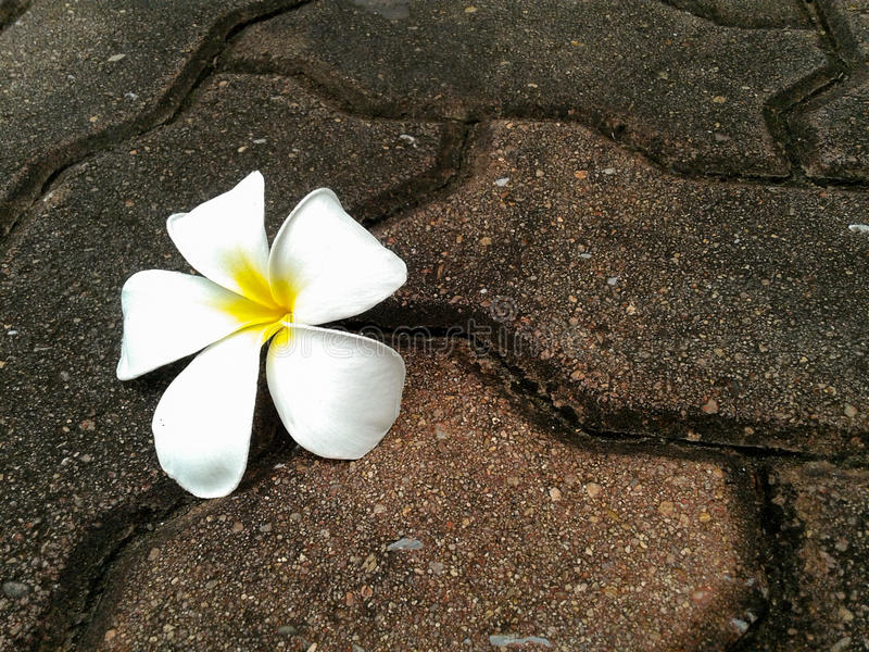 Plumeriablume fallen unten auf den Felsen lizenzfreies stockfoto