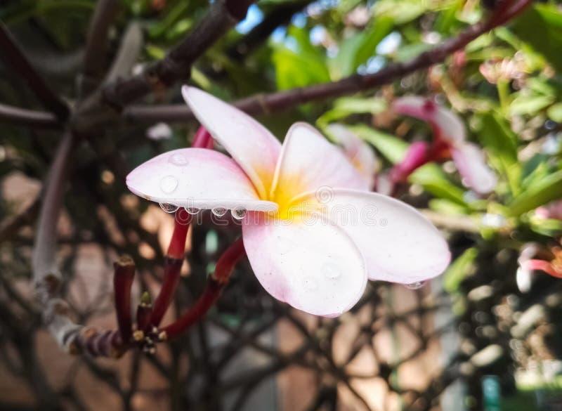 Plumeriablume mit Tröpfchen des klaren Wassers nach einem regnerischen Tag stockbild