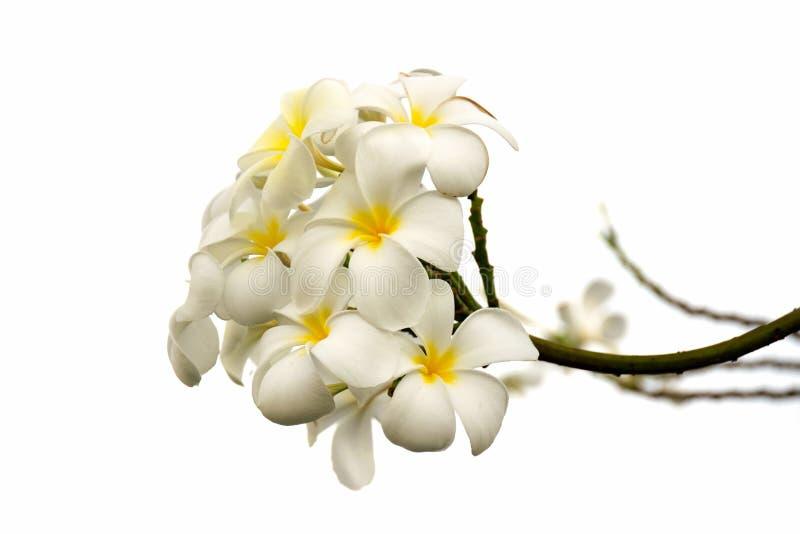 Plumeriablumen-Blütenisolat auf weißem Hintergrund lizenzfreies stockfoto