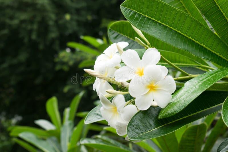 Plumeriablumenbl?te im Wald nach Regen in Chiang Mai, Thailand Feld des gr?nen Grases gegen einen blauen Himmel mit wispy wei?en  stockbilder