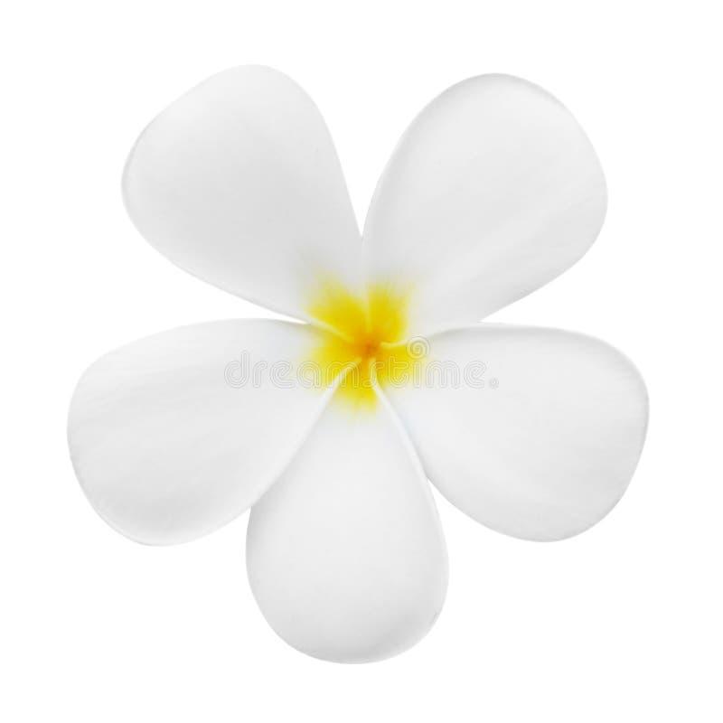 Plumeriablumenblüte lokalisiert auf Weiß lizenzfreies stockbild