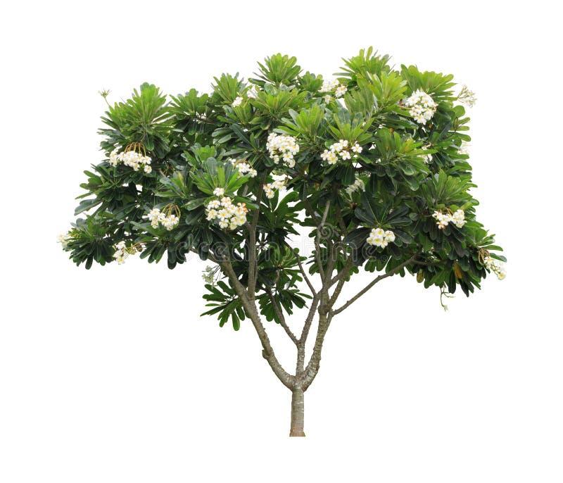 Plumeriaboom (frangipani) op witte achtergrond wordt geïsoleerd die stock foto's
