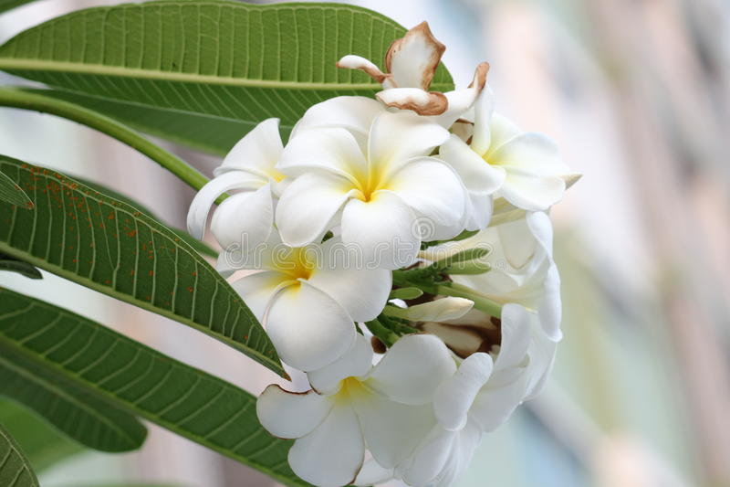 Plumeriaorchidee und helles langsames Leben des Morgens lizenzfreie stockbilder