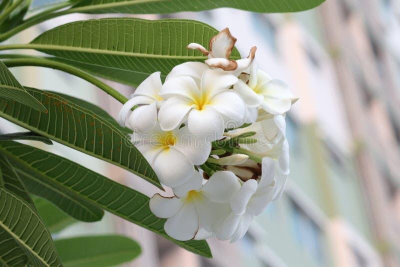 Plumeriaorchidee und helles langsames Leben des Morgens stockfoto