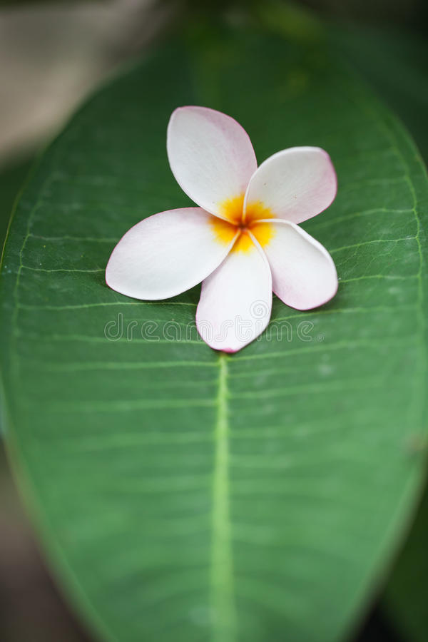 Plumerias на зеленых лист стоковое фото