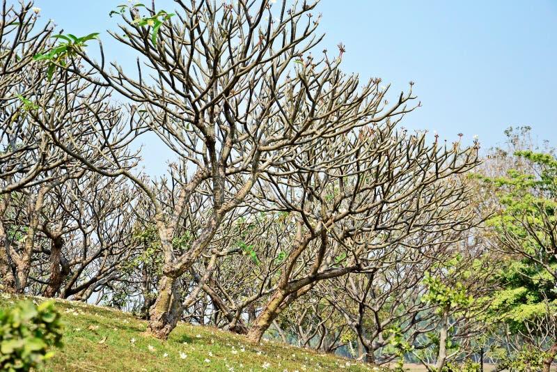 Plumeriaträd arkivfoton