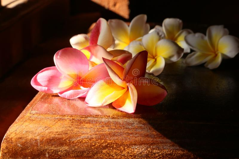 Plumery flowers or frangipani red and white illuminated by the sun side stock photography