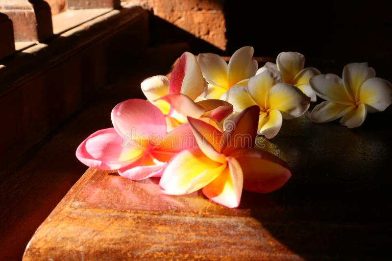 Plumery flowers or frangipani red and white illuminated by the sun side royalty free stock images