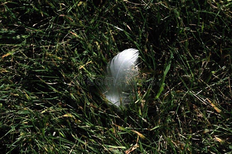 Plumes blanches dans l'herbe image libre de droits