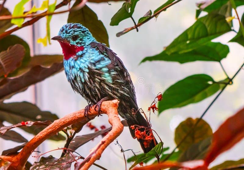 Plumes bleues rouges ornées de paillettes de Cotinga photos stock