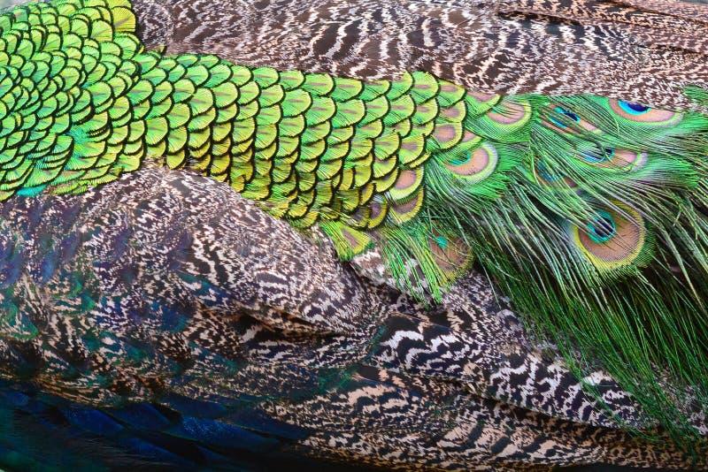Plumes colorées de paon photographie stock libre de droits