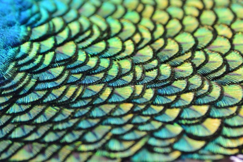 Plumes colorées de paon photos stock