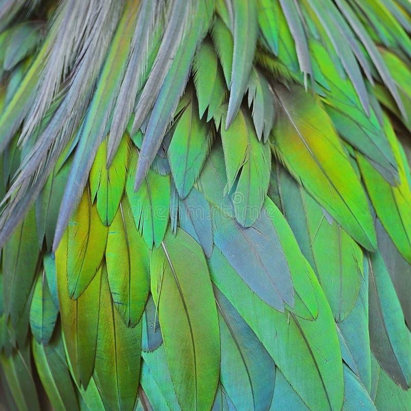 Plumes de pigeon de Nicobar image libre de droits