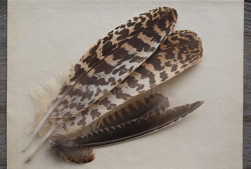 Plumes des oiseaux forestiers du Sandpiper image libre de droits