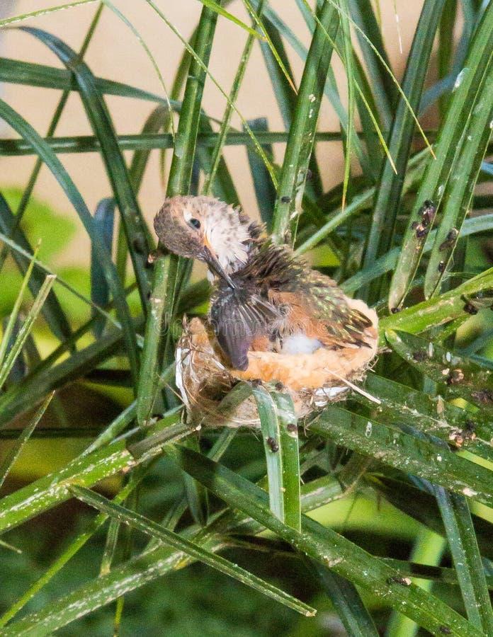 Plumes Fluffing dans un nid photos stock