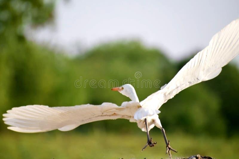 Plumes Fluffing de grand héron blanc à l'Inde de port photographie stock libre de droits
