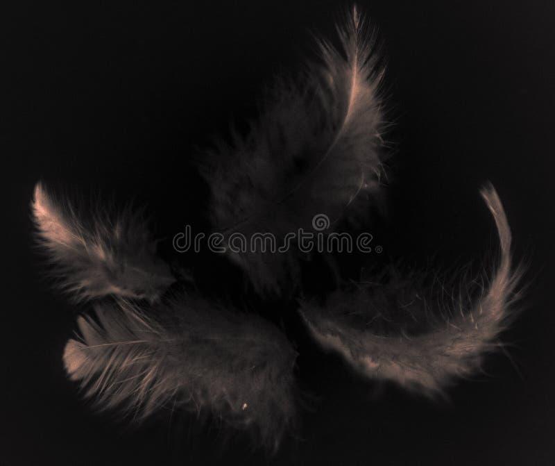 Plumes grises de belle couleur de r?sum? et rose-clair blanches d'isolement sur le mod?le et le papier peint noirs de fond image libre de droits