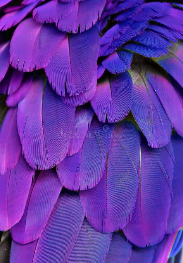 Plumes pourpres et bleues photo stock