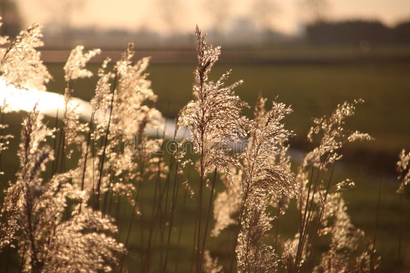 Plumes of reed grass colored several ways in sunlight by sunset in Moordrecht in the Netherlands. stock photos