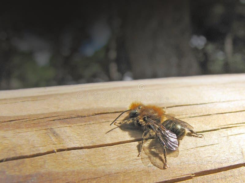 plumipes пчелы anthophora стоковые фото
