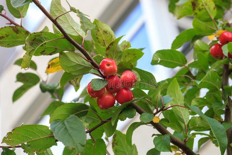 Plumleaf crab apple tree. Malus prunifolia or Chinese crabapple. Little red fruits on Plumleaf crab apple tree. Malus prunifolia or Chinese crabapple apples stock photography