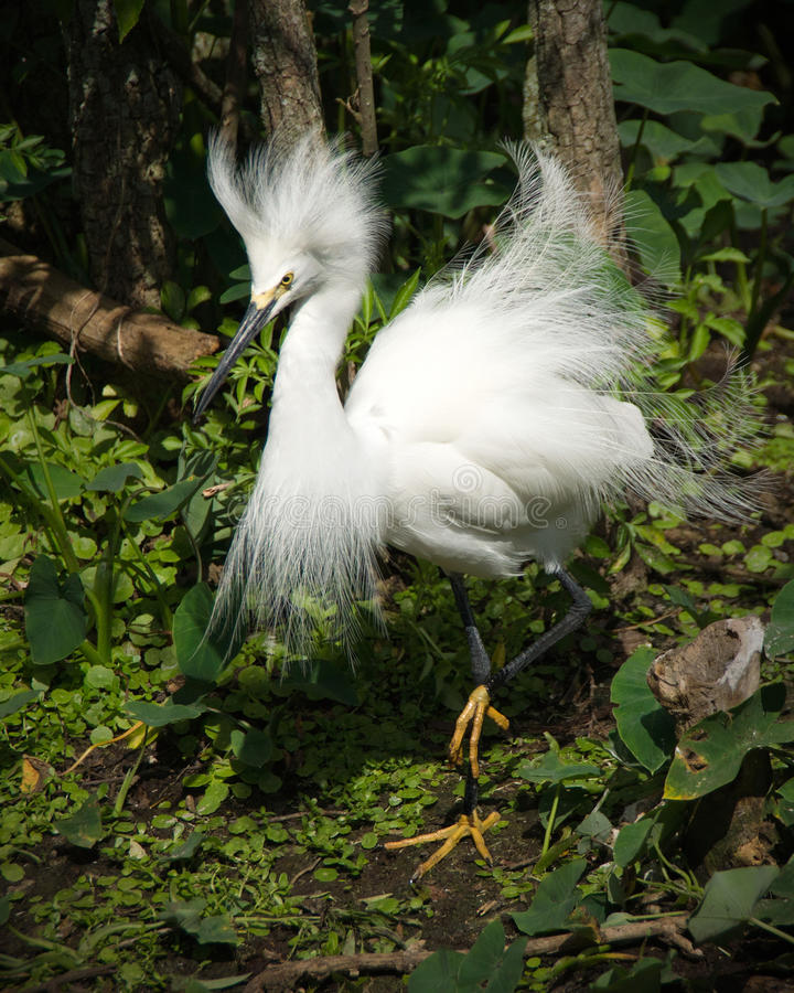 plummage egret снежное стоковое фото
