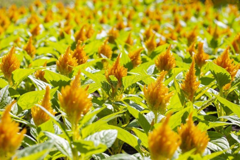 Plumosa van Celosiaargentea, de tuinontwerp van het bloembed, geeloranje panicles, pluizige decoratieve bloemen, de amarant van d stock fotografie