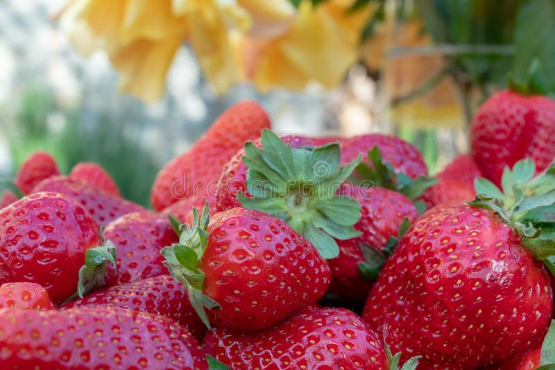 Plump, hand picked strawberries from the vegetable garden; farm life.  royalty free stock photo