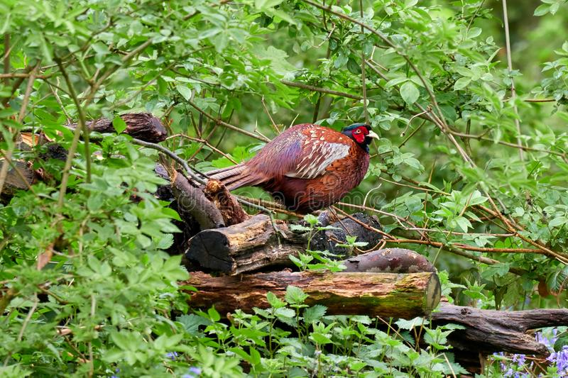 Plump Pheasant on a log. A plump male common pheasant Phasianus colchicus sat on a log in a woods royalty free stock photo