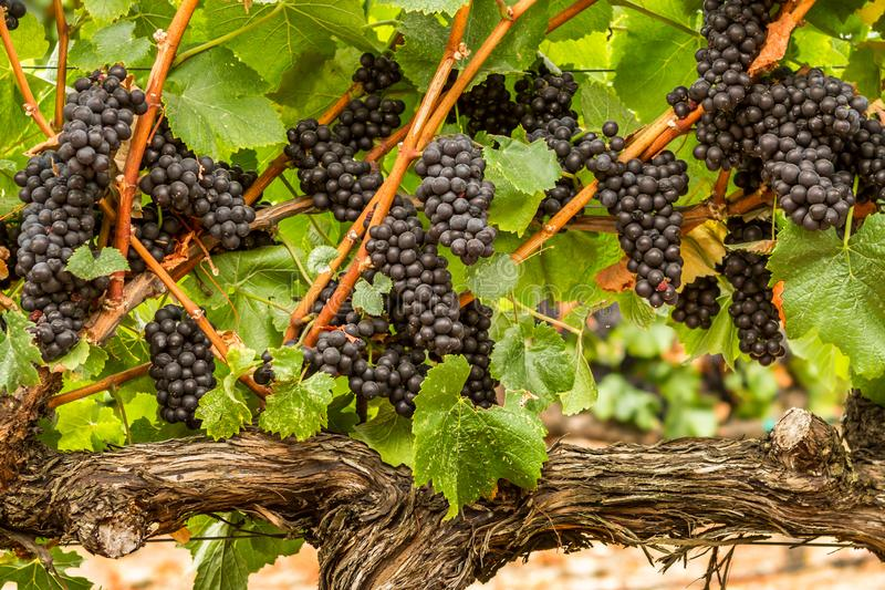 Plump - Pinot Noir Grapes. Pinot noir wine grapes are ready to burst in anticipation of crush. Russian River Valley, California, USA stock photography