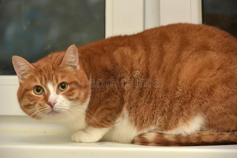 Plump red with a white cat royalty free stock photo