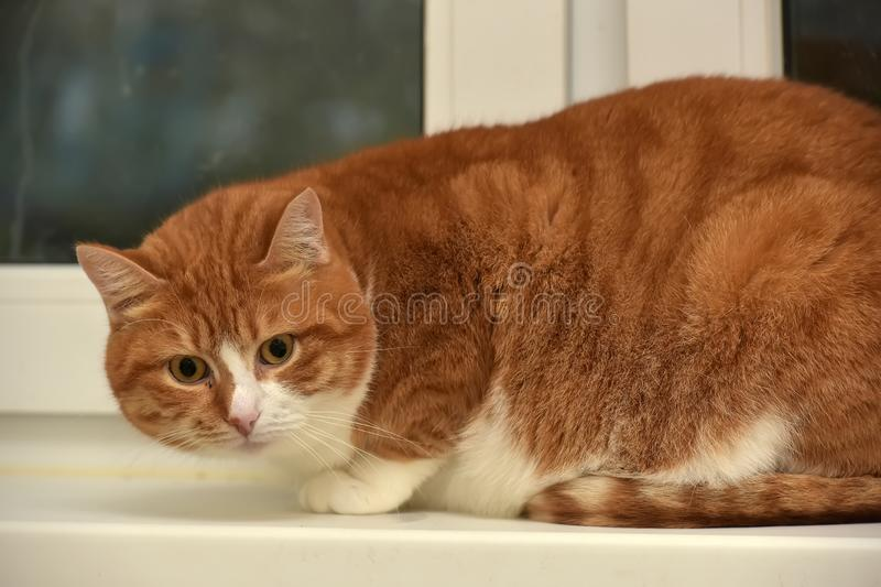 Plump red with a white cat stock photography