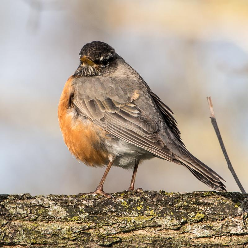 Plump Robin Perched on Tree Branch royalty free stock image