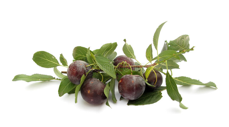 Plums. A plum or gage is a stone fruit tree in the genus Prunus, subgenus Prunus. The subgenus is distinguished from other subgenera (peaches, cherries, bird royalty free stock photography