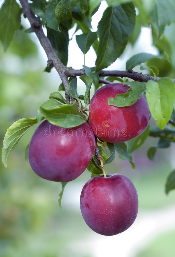 Free Plums Royalty Free Stock Photos - 6227358