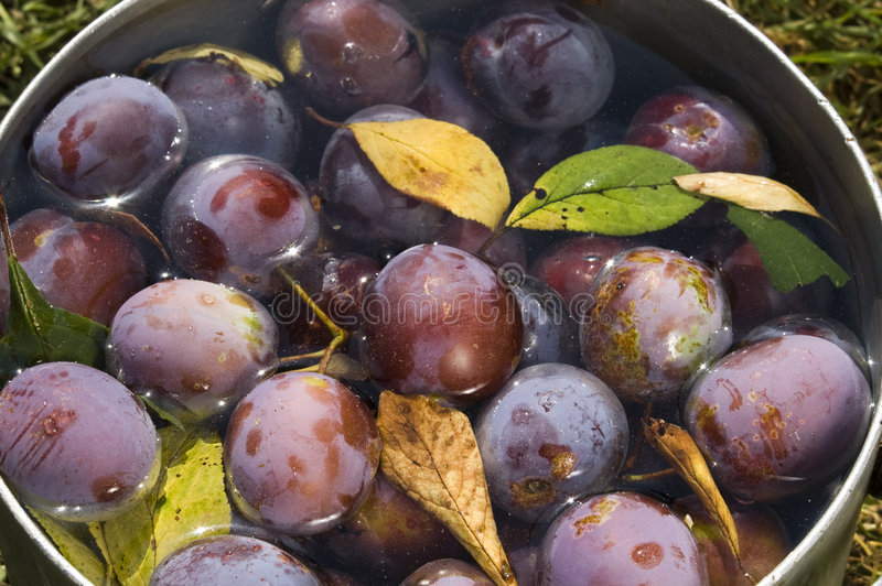 Download Plums stock photo. Image of ripe, fruit, specks, summers - 6947058