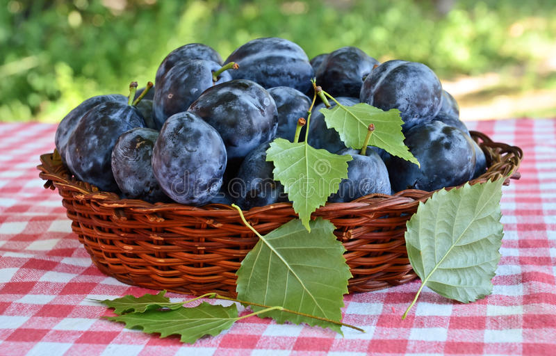 Plums. Basket full of plums on the table royalty free stock images
