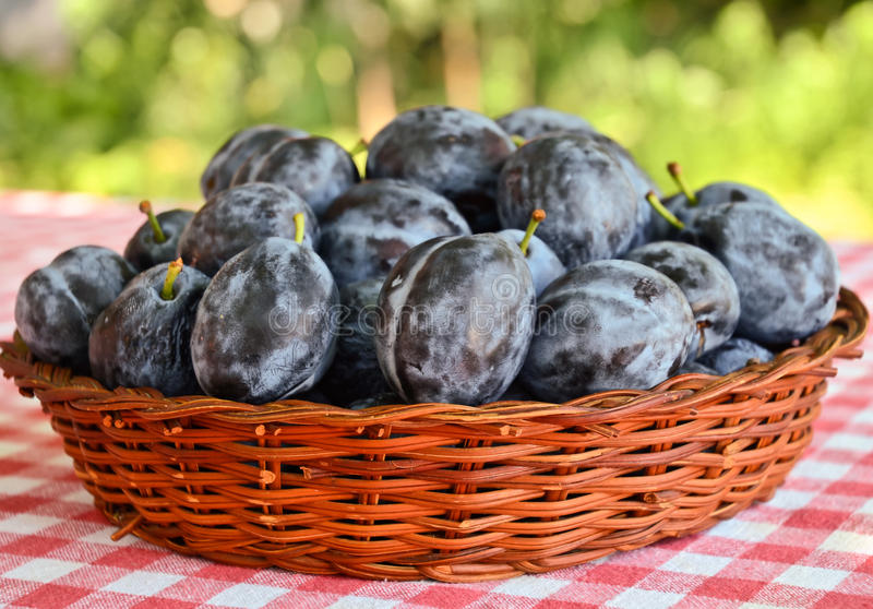Plums. Basket full of plums on the table stock photography