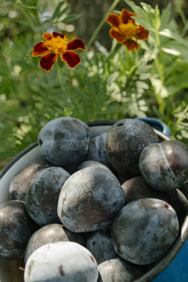 Plums in blue pot on the grass with flowers stock photos