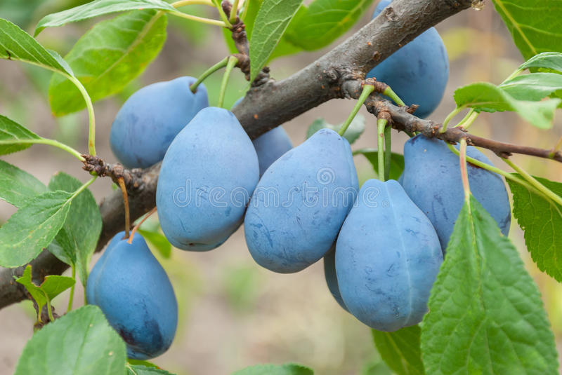 Download Plums on a branch stock photo. Image of gardening, agriculture - 26141248