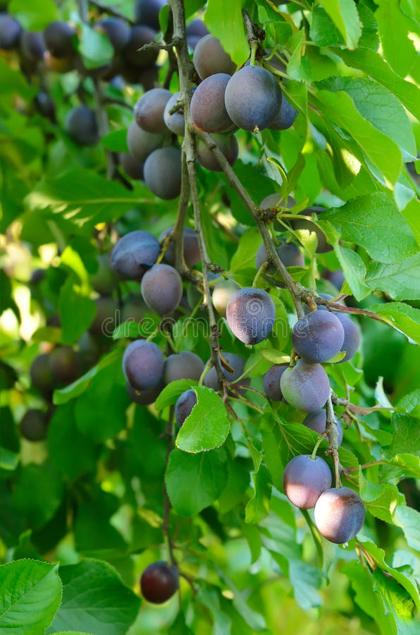 Plums in garden stock images