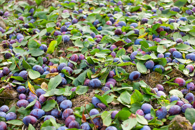 Download Plums Shaken Down At Harvest Stock Image - Image: 17265355